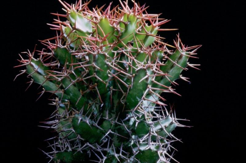 Euphorbia sekukuniensis