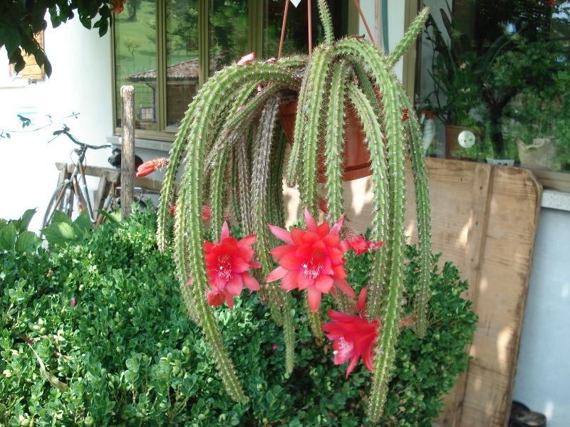 Aporocactus mallisonii