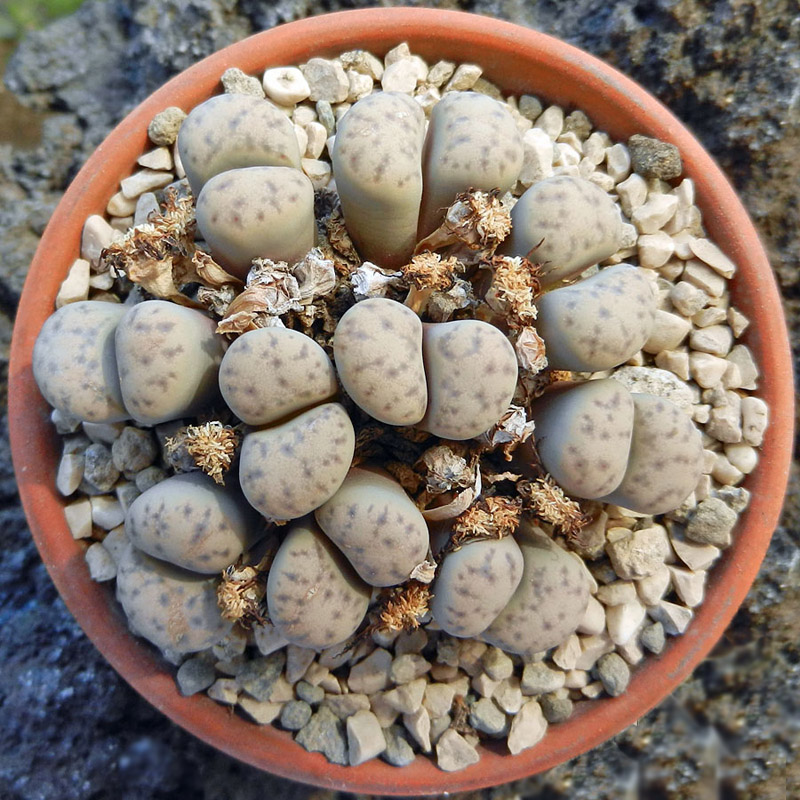 Lithops ruschiorum var. lineata