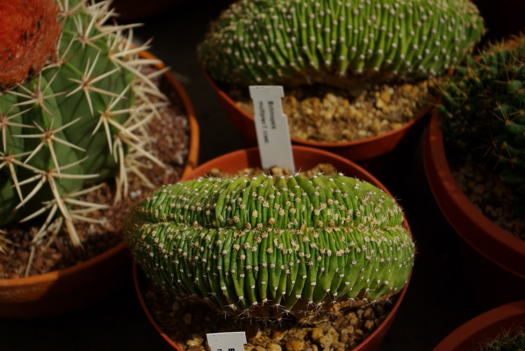 Echinopsis multiplex crestata